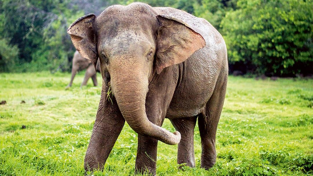 Where to see wild elephants in Sri Lanka | Thomson now TUI